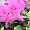 Phlox lilies