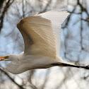 Great White Egret - Heron