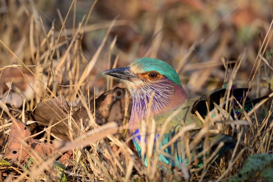 Indian Roller  by Nimit Virdi - Animals Birds ( indian roller )