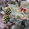 Single-leaf Pinyon Pine (or Piñon)