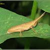 Slant-faced Grasshopper (Nymph)