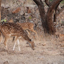 Spotted deer, Chital or Cheetal