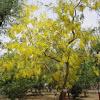 AMALTAS TREE