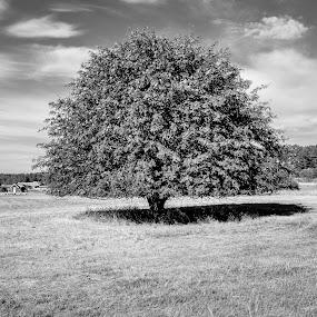Singel by Bjørn Kristiansen - Black & White Flowers & Plants ( singel, field, fineart, tree, black and white )