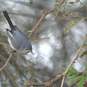 Perlita, Blue-gray Gnatcatcher
