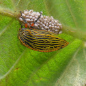 Membracid Tree hopper