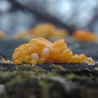 Common Jellyspot
