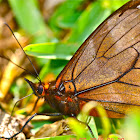 Leonata Satyr Butterfly