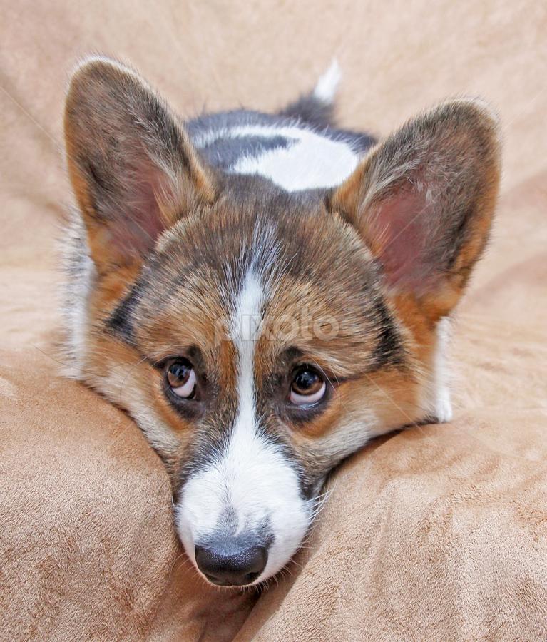 Little observer by Mia Ikonen - Animals - Dogs Puppies ( thinking, pembroke welsh corgi, finland, cute, expressive,  )