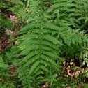 New York fern
