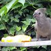 Kwêvoël/ Go-away-bird