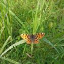 Map (butterfly)