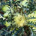 Prickly Dryandra