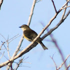 Yellow-rumped Warbler (immature)
