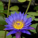 Purple Lotus/Blauwe Lotus