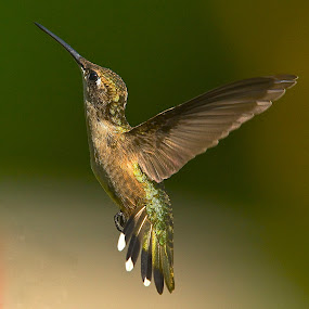 Evening Light by Roy Walter - Animals Birds ( wild, flight, animals, nature, hummingbird, wings, feathers, birds )