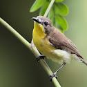 Golden-bellied Flyeater