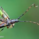 Trachyderine Longhorn beetle