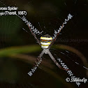 The Giant Cross Spider, Specked Band Four-Leg