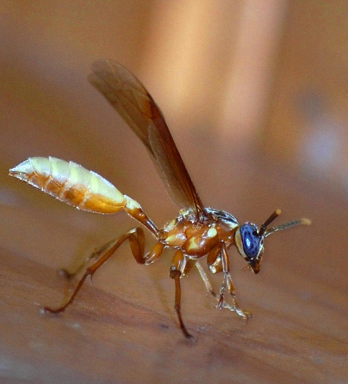 Nocturnal Paper Wasp