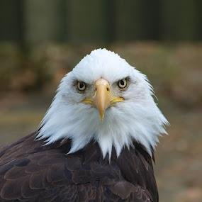August eagle 2 by Garry Chisholm - Animals Birds ( bird, eagle, nature, wildlife, prey, raptor, chisholm, garry )