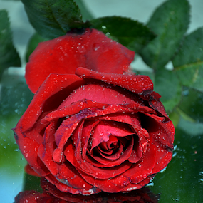 With Love by Ajay Halder - Flowers Single Flower ( red, green,  )