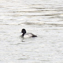 Lesser scaup (male)