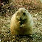 Groundhog, woodchuck, or land-beaver