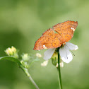 Curve-winged Metalmark