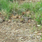 Mourning Dove (adult pair with fledgling)