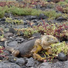 Iguana de tierra de Galápagos. Galapagos Land iguana