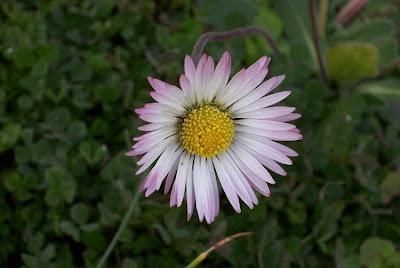 Bellis perennis, daisy, English daisy, European daisy, Gänseblümchen, lawn daisy, lawndaisy, Margheritina, Pratolina comune, Primavera, pâquerette, Tausendschön, vellorita, Wild Daisy