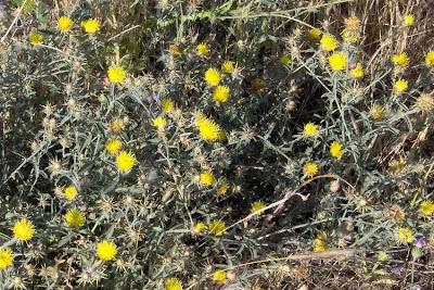 Centaurea nicaeensis, Centaurea nizzarda, Mediterranean Star Thistle