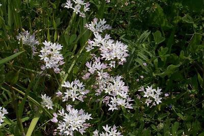 Allium neapolitanum, Aglio napoletano, ail de Naples, daffodil garlic, false garlic, flowering onion, Naples garlic, Neapellauch, Neapolitan garlic, white garlic