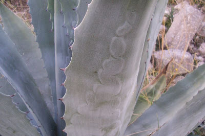 Agave americana, Agave, American agave, American century plant, American-aloe, century-plant, centuryplant, garingboom, maguey, Maguey americano, Pitta, Spiked Aloe, Zabbara, Zammara