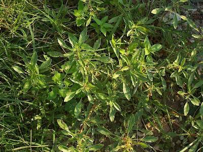Amaranthus blitoides, amarante fausse blite, amaranto, Amaranto blitoide, bei mei xian, bredos, mat amaranth, matweed, matweed amaranth, Niederliegender Amarant, prostrate amaranth, prostrate pigweed, Spreading Amaranth