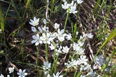 Allium subhirsutum, Aglio pelosetto, Hairy Garlic