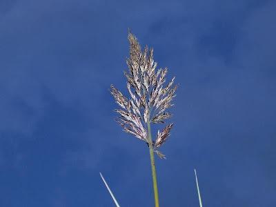 Arundo donax, cana-do-brejo, cana-do-reino, Canna domestica, Canna gentile, canne de Provence, canno-do-reino, capim-plumoso, caña común, caña de Castilla, giant reed, Giant River Reed, giant-reed, giantreed, grand roseau