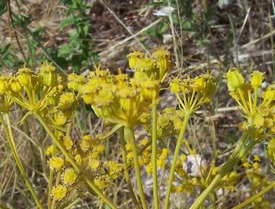 Cachrys libanotis, Basilisco liscio
