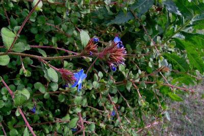 Ceratostigma plumbaginoides, blue leadwood, Ceratostigma, lan xue hua, Leadwort