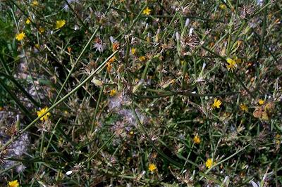 Chondrilla juncea, achicoria dulce, Binsen-Knorpellattich, chondrille, condrila, gum succory, hogbite, Lattugaccio comume, leituga-branca, nakedweed, rush skeleton-weed, rush skeletonweed, skeletonweed