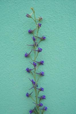 Delphinium halteratum, Speronella comune, Winged Larkspur