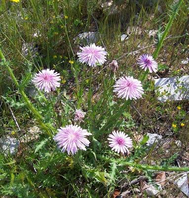 Crepis rubra, Pink Hawksbeard, Radicchiella rosea, red hawk's-beard, red hawksbeard