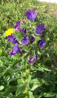 Echium plantagineum, bloudissel, blueweed, Paterson's-curse, pers-echium, purple echium, purple viper's-bugloss, purple-bugloss, Riverina bluebell, Salvation Jane, sonaja, Viper's Bugloss, viper's-bugloss, Viperina piantagginea