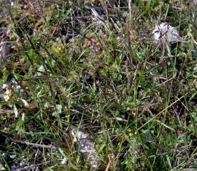 Eragrostis pilosa, barba de indio, behaartes Liebesgras, capim-barbicha-de-alemão, capim-mimoso, capim-orvalho, capim-peludo, hairy love grass, India love grass, India lovegrass, Indian love grass, Indian lovegrass, Jersey Love Grass