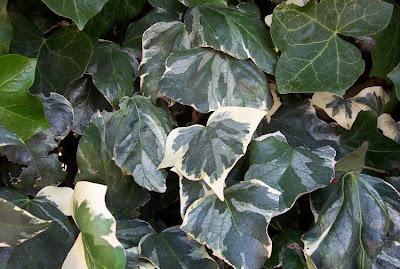 Hedera helix, Algerian ivy, Edera, Efeu, Engelse hedera, English ivy, ivy