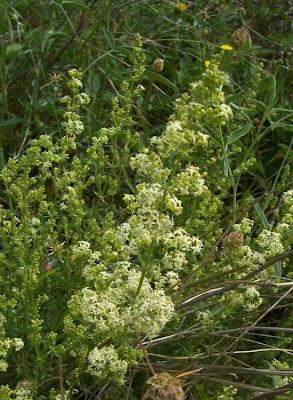 Galium corrudifolium, Caglio mediterraneo