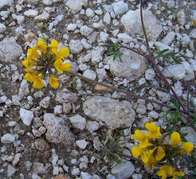 Hippocrepis comosa, horseshoe vetch, horseshoe-vetch, Sferracavallo comune