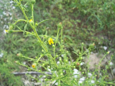 Inula graveolens, Cicutaja, Enula cespita, Fulichi