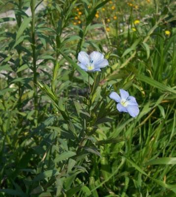 Linum bienne, Lino selvatico, pale flax, Wild-Lein